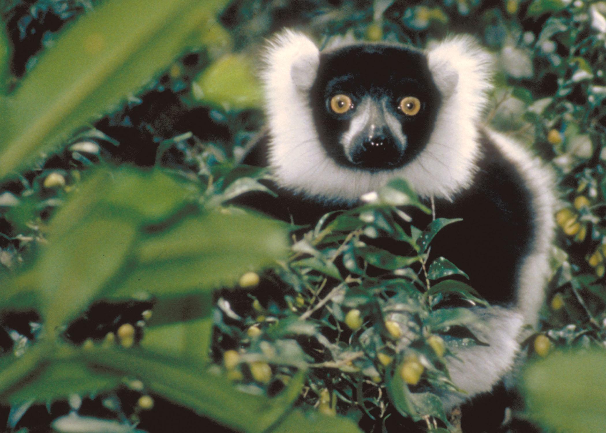 lemurs essay